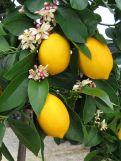 fruit-bearing-tree